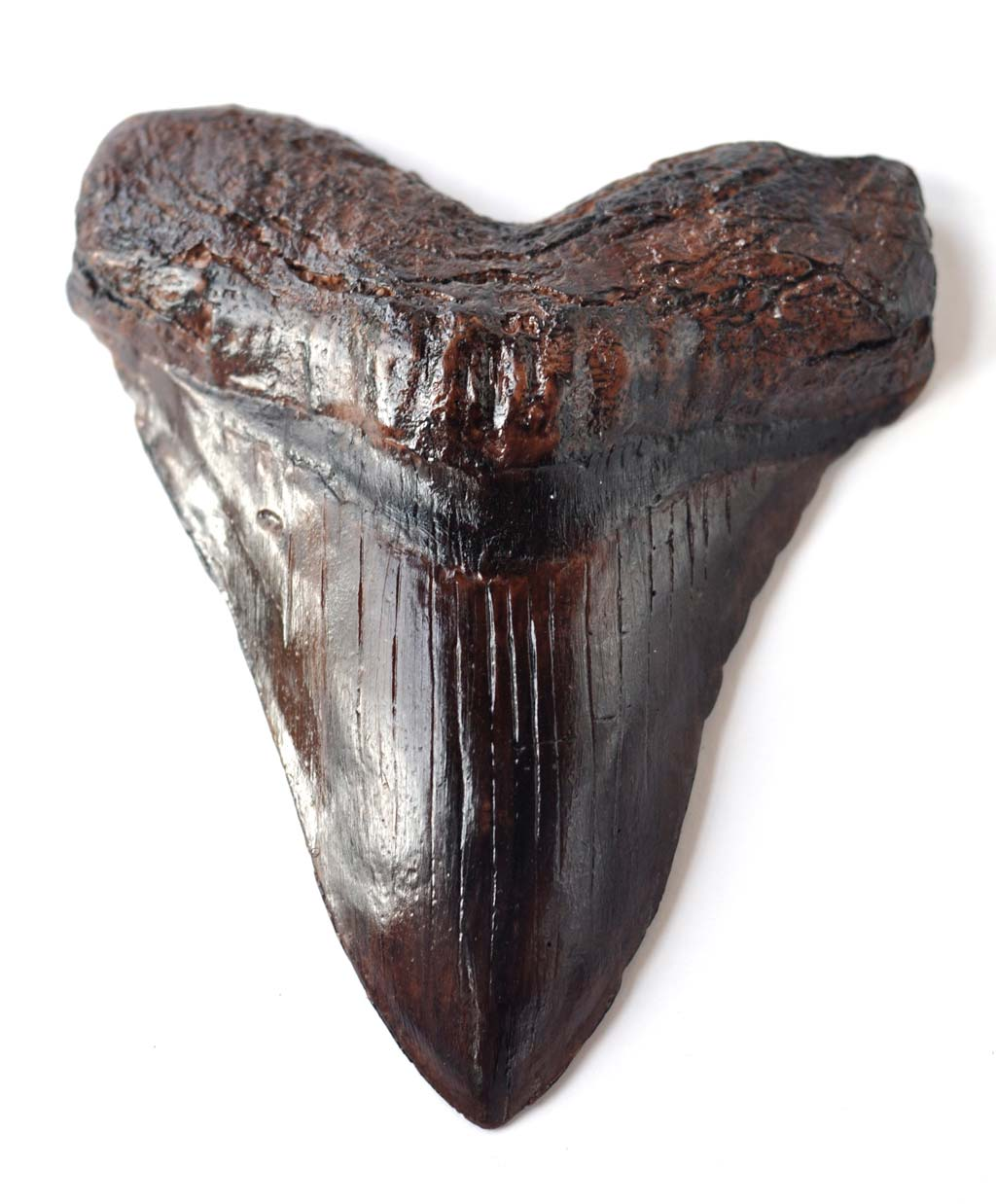 Chocolate Megalodon tooth