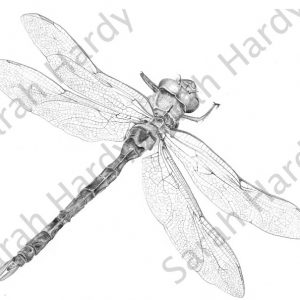 pencil-drawings-dragonfly